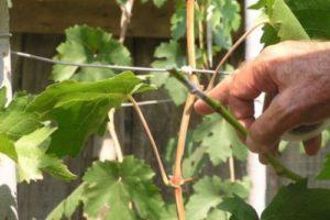 cрезка черенка винограда