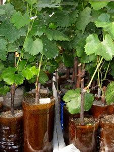 зеленые черенки винограда в банке