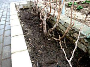 как укрыть и спасти виноград