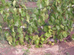 уход за виноградом летом после обрезки