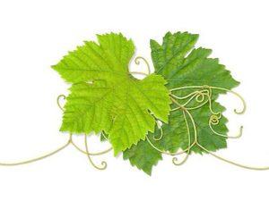 виноградные листья и их польза