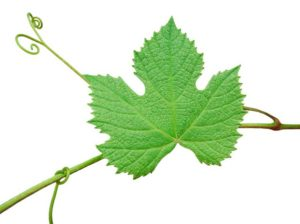 виноград и его листья
