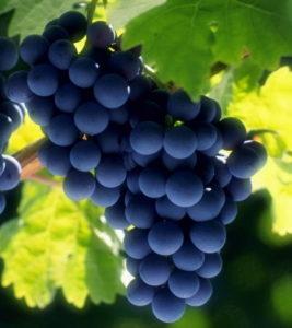 гроздь северного винограда