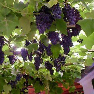 выращивание амурского винограда