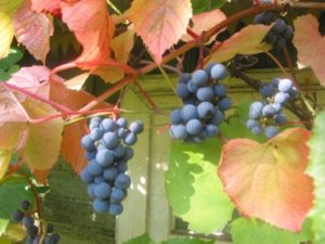 виноград амурский польза