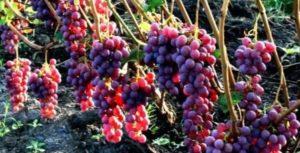 ценность ранних сортов винограда