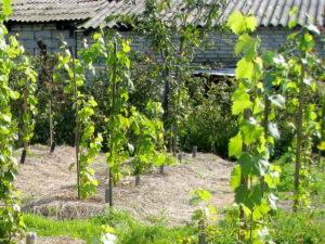 весенняя посадка саженцами винограда