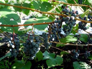виноград двиетский синий