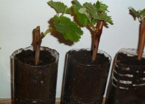 уход за школой виноградных саженцев