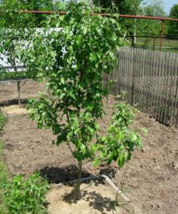 посаженное дерево груши