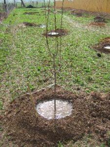 полив пересаженной груши