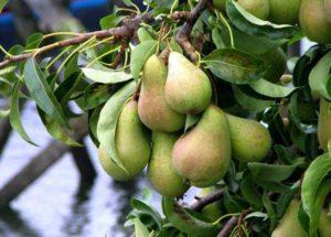 молодое дерево груши с плодами