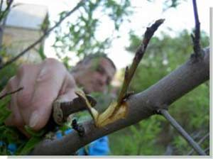 подвой груши на плодовое дерево