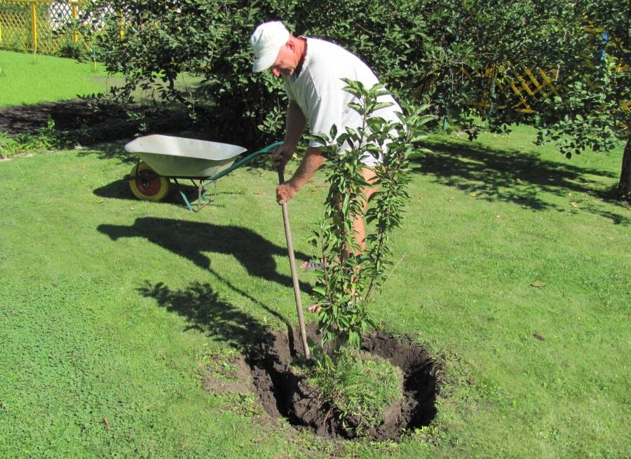 Можно ли сажать весной плодовые деревья 91