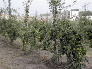 сад из карликовых груш