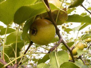 круглые плоды груши