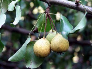 три плода дикой груши