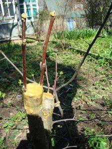 привой груши на другое дерево своими руками