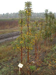 саженцы колоновидной груши без плодов